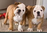 Large_twin_bulldogs