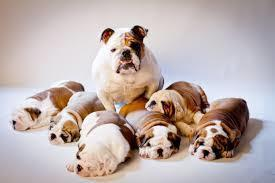 Large_bulldog_family
