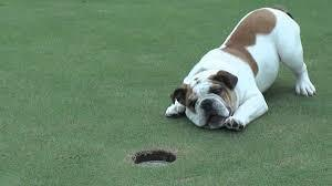 Large_golf_dog