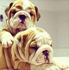 Large_baby_bulldog1
